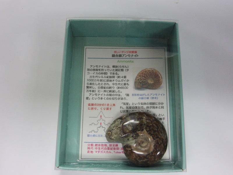 化石 縫合線アンモナイト 004
