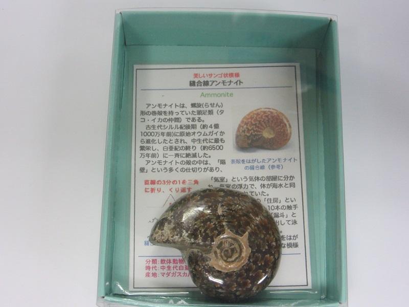 化石 縫合線アンモナイト 005
