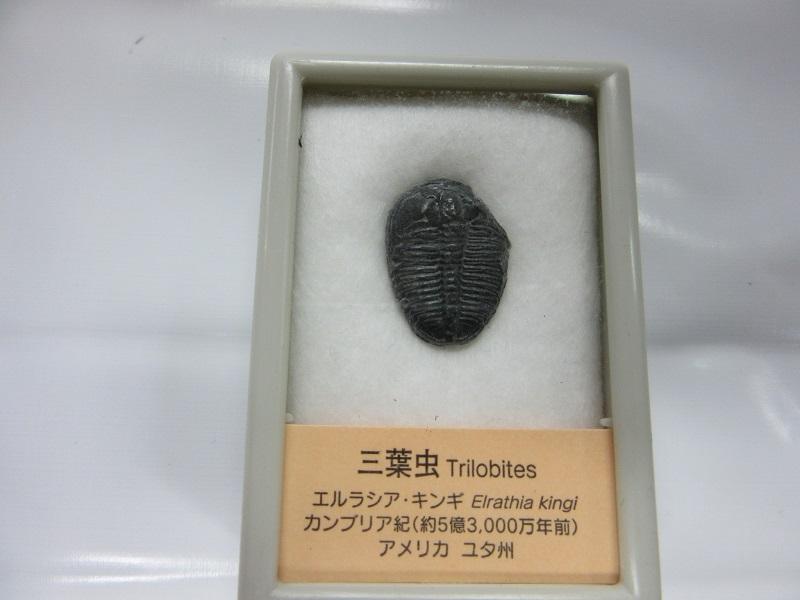 化石 三葉虫 エルラシア 002