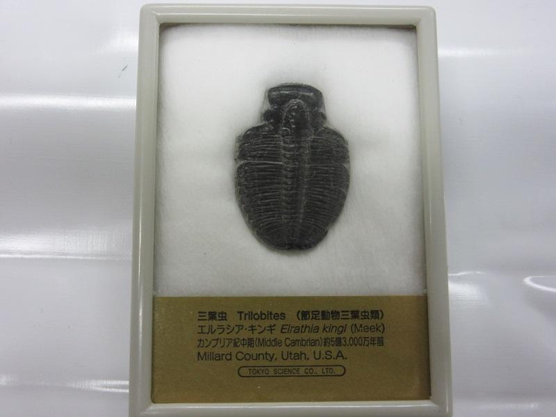 化石 三葉虫 エルラシア 004