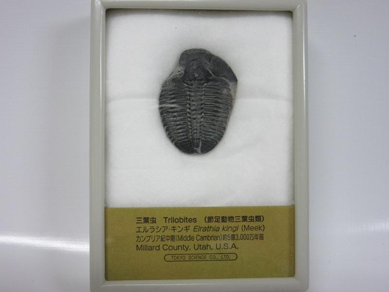 化石 三葉虫 エルラシア 005