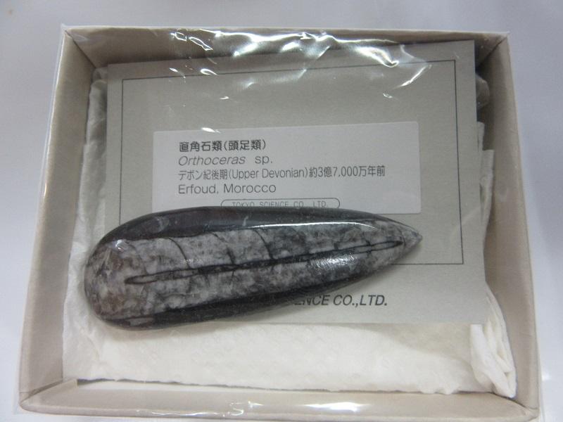 化石 直角石類(オルソセラス) 005