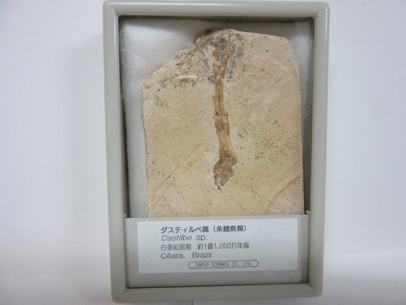 化石 魚化石 ダスティルベ 006