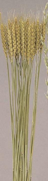 小麦 ボタニカルドライ50080-020【お取り寄せ 大地農園】