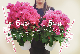 クリスタルピンク(5号鉢)