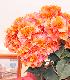 マハラオレンジ(5号鉢)