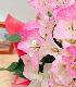 クリスタルピンク(6号鉢)