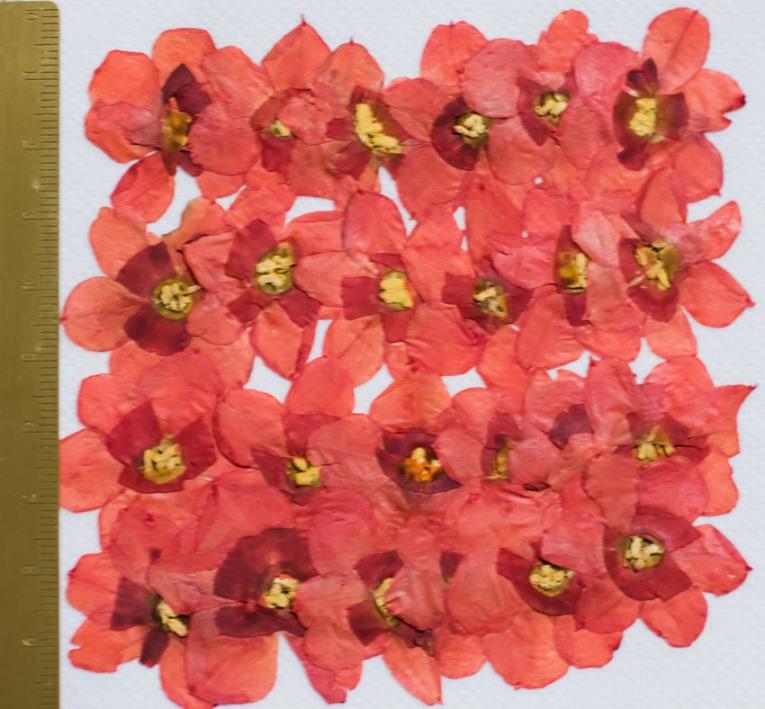 1-105R 押し花 水仙の花 赤