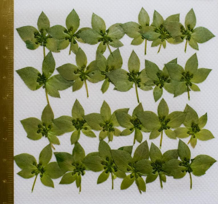 1-106 押し花 ブプレウルム 緑処理