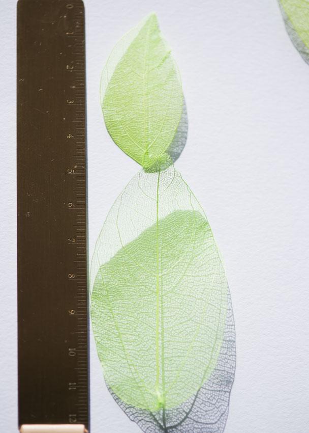 1-001G 葉脈 24枚 緑染め