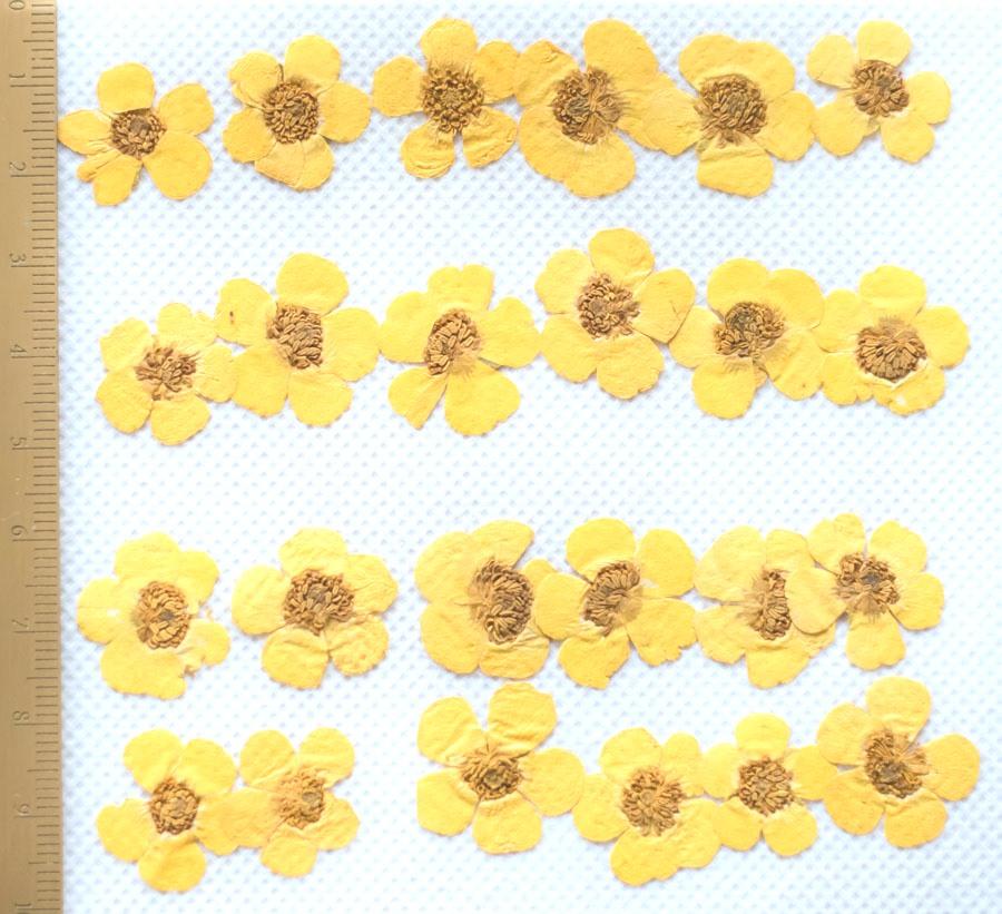 1-112 押し花 キンボウゲ