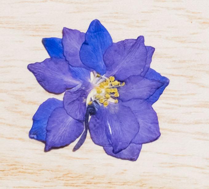 1-145-B 押し花 千鳥草 ブルー
