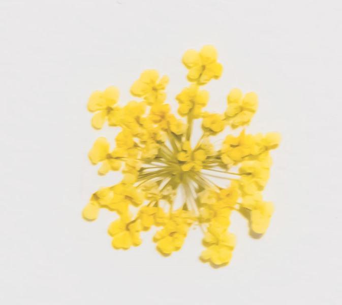 1-202Y 押花 レースフラワー黄色染め