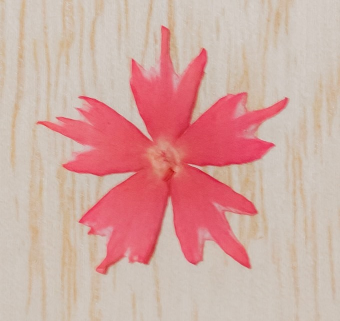 1-116ZK 押し花 スターフロックス ピンク