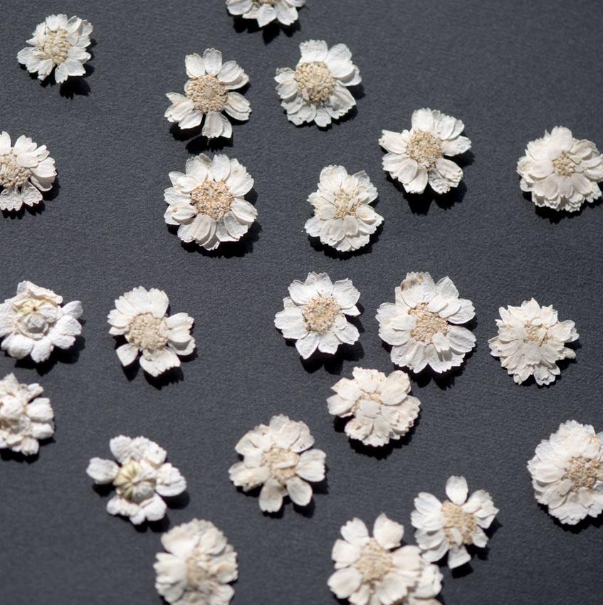 1-281W 押し花 エゾノコギリソウ ホワイト