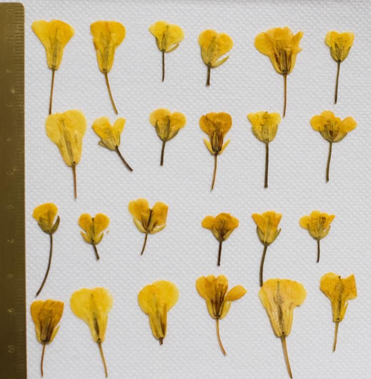 1-208押し花材料  菜の花