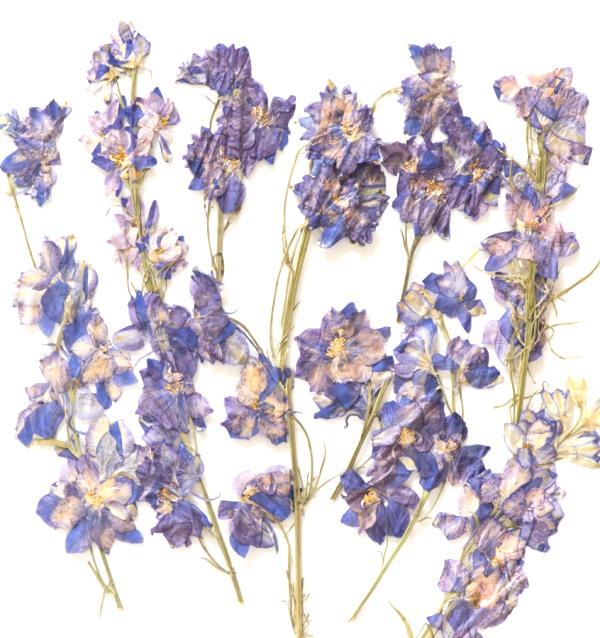1-145H-B 押し花素材 千鳥草枝付 ブルー