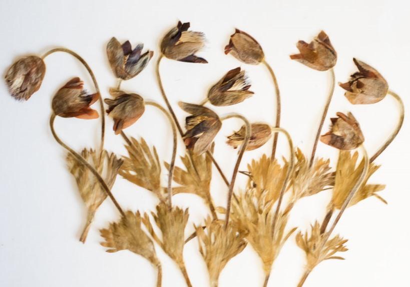 1-124 押し花 おきな草