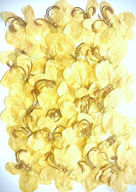 1-015 沖縄の花 モクセンナ