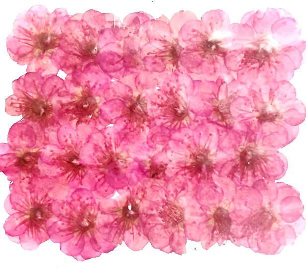 1-007  【希少】梅の花 染め 24輪入り