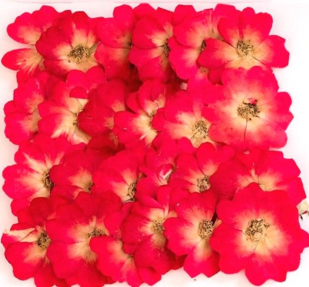 1-119R(2175B) 押し花 ミニバラ 赤