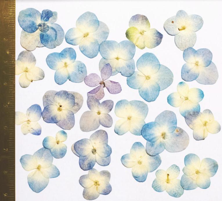 1-114DB  押し花 アジサイ 濃いブルー