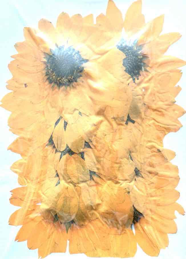 1-101Y 押し花 ミニヒマワリ 黄色染