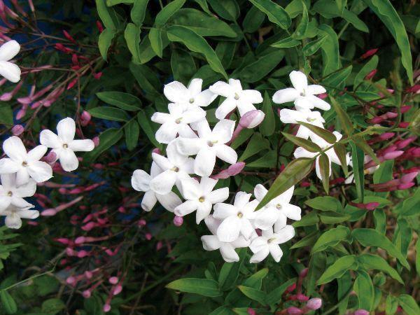 緑のカーテン ツル性植物 ハゴロモジャスミン 羽衣素馨(大株) 白花 香りよし 常緑つる性木本 観葉植物