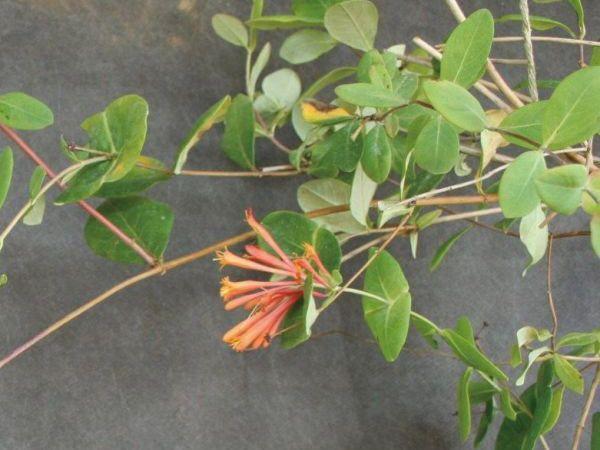 緑のカーテン ツル性植物 ツキヌキニンドウ 突抜忍冬(大株) オレンジ色花 落葉 つる植物