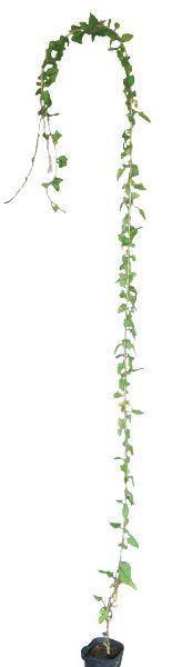 落葉樹 ナツユキカズラ(大株) 緑のカーテン ツル性植物 白花 つる性 落葉 低木