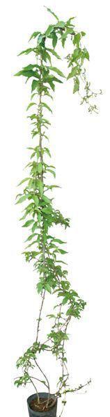 緑のカーテン ツル性植物 ビグノニア(大株) カレーフラワー 香りよし 常緑つる 性木本