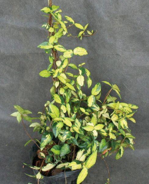 緑のカーテン ツル性植物 テイカカズラ(定家葛)・オウゴンニシキ(大株) 斑入り 紅葉 白花 常緑つる性低木