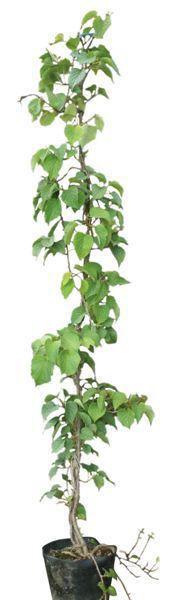 緑のカーテン ツル性植物 イワガラミ(岩絡み)・ロゼウム(大株) 薄桃色花 落葉 つる性低木