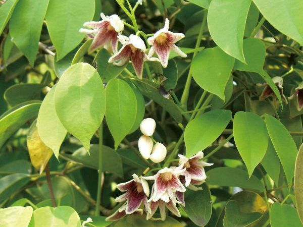 緑のカーテン ツル性植物 ムベ(郁子 野木瓜) (大株) 香りよし 食用可 果実 常緑つる性木本