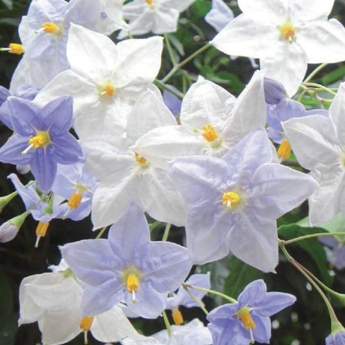 緑のカーテン ツル性植物 ツルハナナス 蔓花茄子(大株) 白花 常緑つる性低木