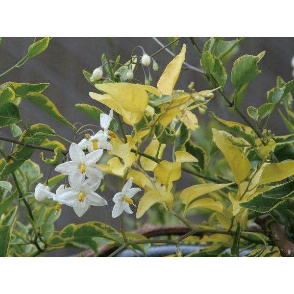 緑のカーテン ツル性植物 ツルハナナス 蔓花茄子(斑入) 白花 常緑つる性低木