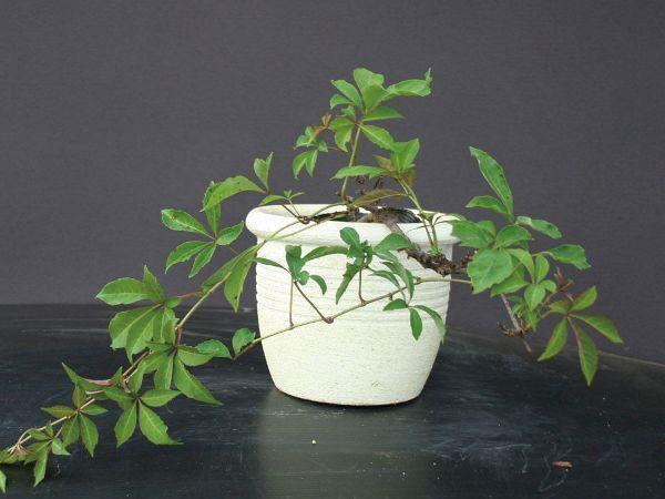 緑のカーテン ツル性植物 ナツヅタ・ヘンリーヅタ 紅葉 落葉つる性低木