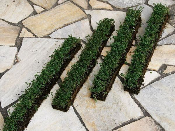 タイム(スリット)4本セット 駐車場 花壇縁取り 植木 庭木 苗木 多年生