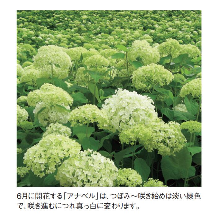 アジサイ(紫陽花)・アナベル 白花 植木 庭木 苗木 ガーデニング 落葉低木