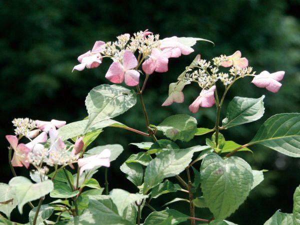 アジサイ(紫陽花) アマチャ(甘茶) 茶庭 植木 庭木 苗木 落葉低木