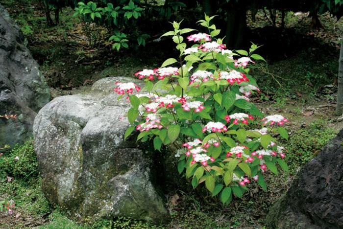 アジサイ(紫陽花)・クレナイ ヤマアジサイ 紅色花 植木 庭木 苗木