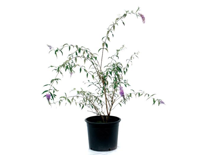 ブッドレア(フジウツギ)紫色花 香りよし 植木 庭木 苗木 落葉低木