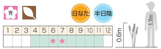 アジサイ(紫陽花)・シチダンカ(七段花)ヤマアジサイ 八重咲き 植木 庭木 苗木