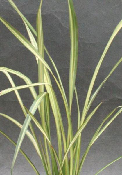 ニューサイラン・アプリコットクイーン 観賞用 観葉植物 庭植え 花壇 鉢植え