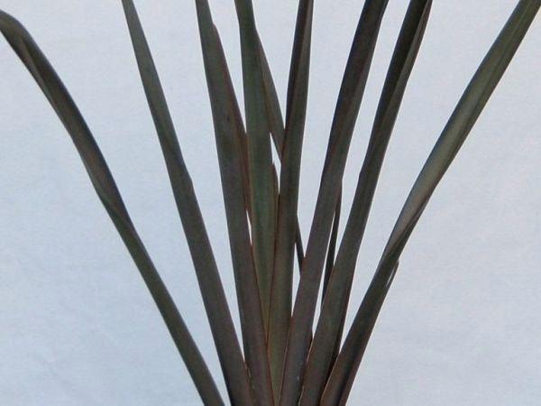 ニューサイラン・パープレア 観賞用 観葉植物 庭植え 花壇 鉢植え