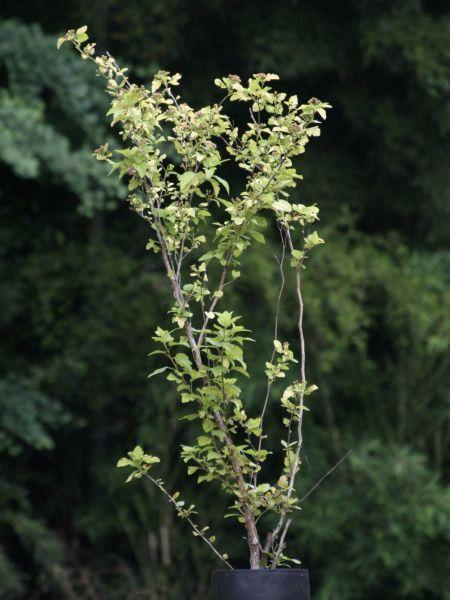 テマリシモツケ(手鞠下野)・オウゴン 黄金色 植木 庭木 花木 苗木 落葉低木