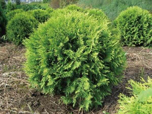 ニオイヒバ・ゴールデングローブ 球形 列植 コニファー 植木 庭木 苗木