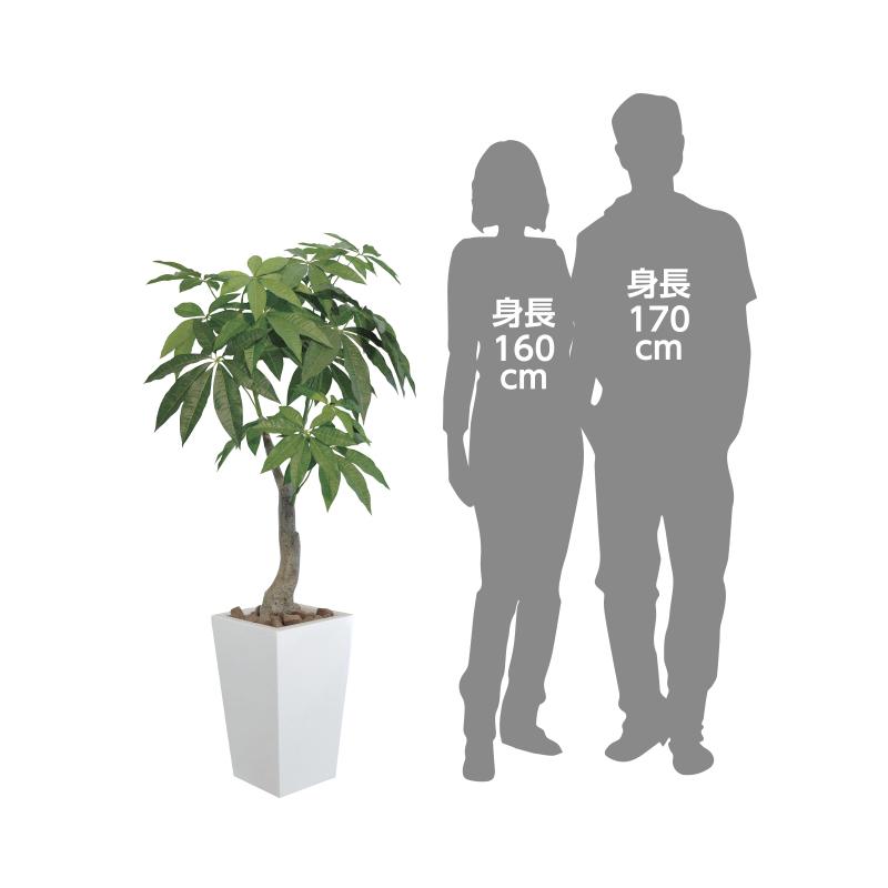 【光の楽園】ロイヤルパキラ1.35