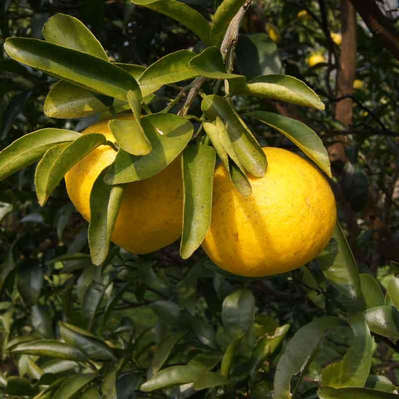愛媛県 無茶々園のニューサマーオレンジ3kg(送料無料)<2021年4月23日まで受付>_s50
