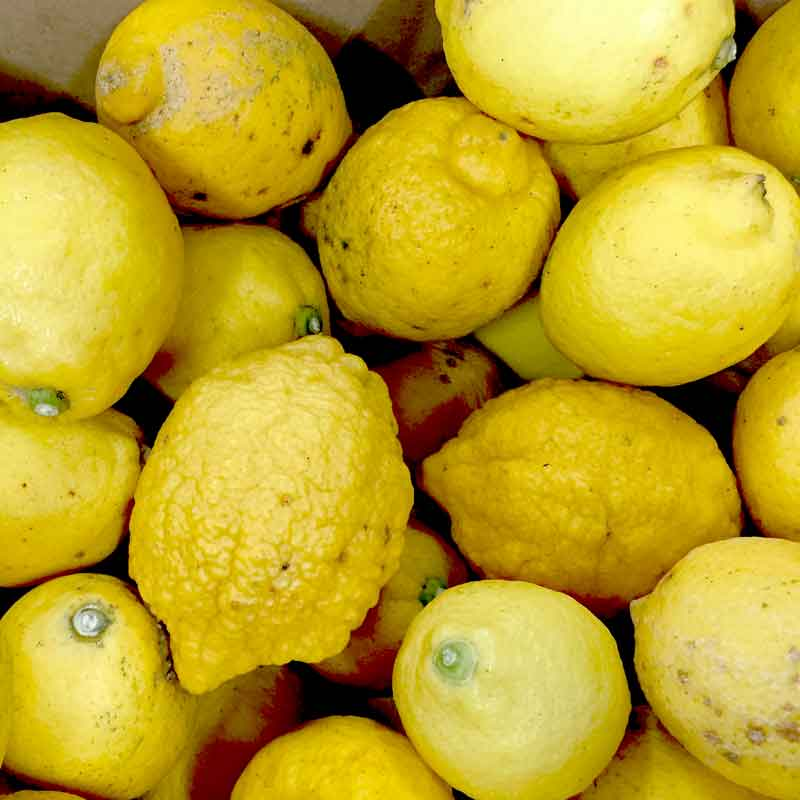 国産レモン10kg前後(送料無料)(無農薬・有機栽培同等品)(防腐剤不使用)(ノーワックス)_s26
